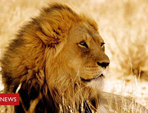 Is there a future for Africa's lions?